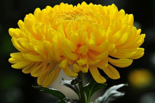 ta hoa cuc - Top 10 bài văn tả hoa cúc lớp 2 mới nhất