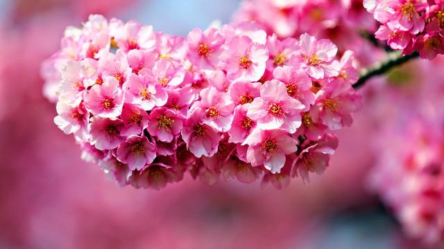 ta hoa dao lop 2 - Top 10 bài văn tả hoa mai, hoa đào lớp 2 mới nhất