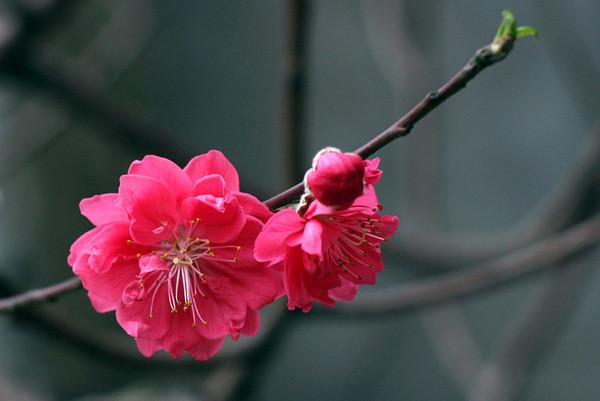 ta hoa dao - Top 10 bài văn tả hoa mai, hoa đào lớp 2 mới nhất