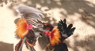 dong vai ga choi ke bi bo roi 2 310x165 - Top 10 truyện ngắn theo ngôi thứ nhất kể về con gà chọi bị bỏ rơi lớp 10 mới nhất
