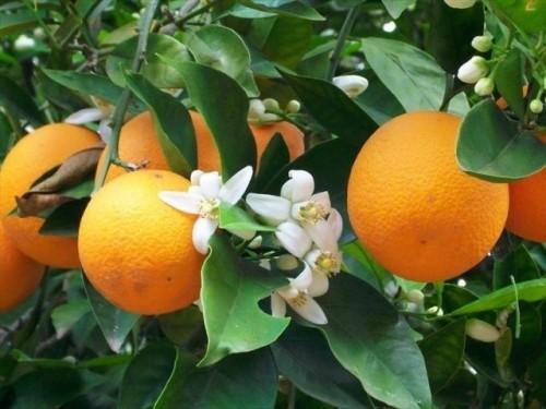 ta cay cam 2 - Top 10 bài tả cây cam, cây mít lớp 3 mới nhất