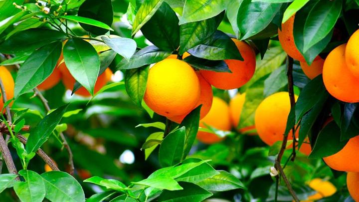 ta cay cam lop 3 - Top 10 bài tả cây cam, cây mít lớp 3 mới nhất