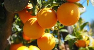 ta cay cam lop 4 1 310x165 - Top 9 bài tả cây cam lớp 4 mới nhất