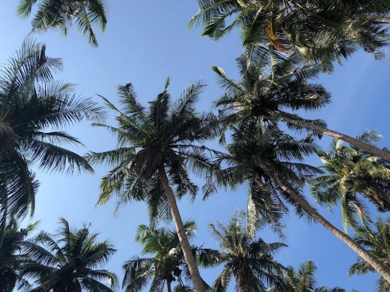 ta cay dua lop 3 1 - Top 10 bài văn tả cây dừa lớp 3 mới nhất