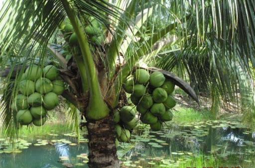 ta cay dua lop 3 2 - Top 10 bài văn tả cây dừa lớp 3 mới nhất
