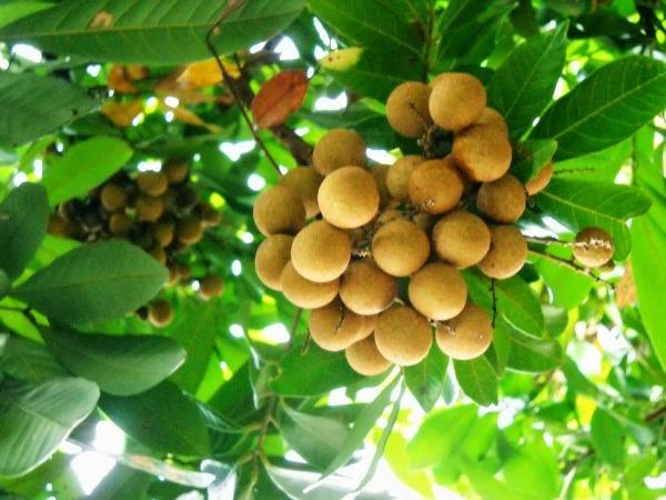 ta cay nhan lop 2 - Top 10 bài văn tả cây ăn quả lớp 2 mới nhất