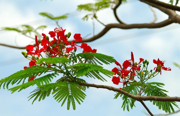 ta cay phuong - Top 10 bài văn tả cây phượng lớp 3 hay nhất