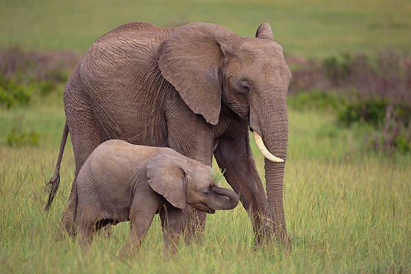 ta con voi lop 4 - Tả con voi trong vườn thú, trong rạp xiếc lớp 4