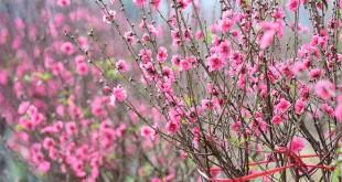 ta hoa dao 310x165 - Top 10 bài văn tả hoa đào lớp 4 mới nhất