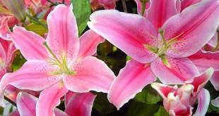 ta hoa ly 310x165 - Top 7 bài văn tả hoa ly lớp 4 mới nhất
