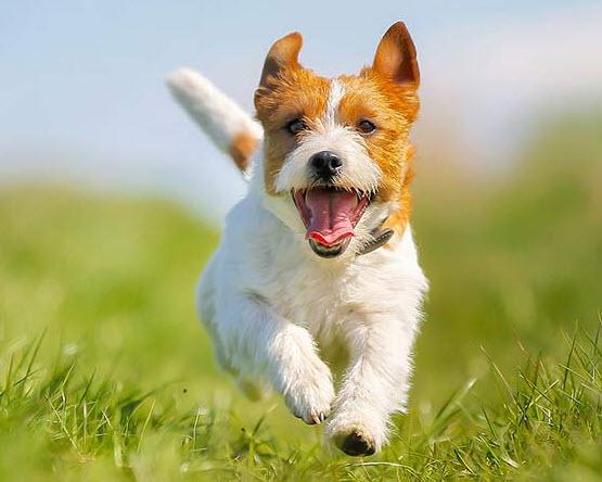 thuyet minh ve con cho - Top 6 bài văn thuyết minh về con chó lớp 9 mới nhất