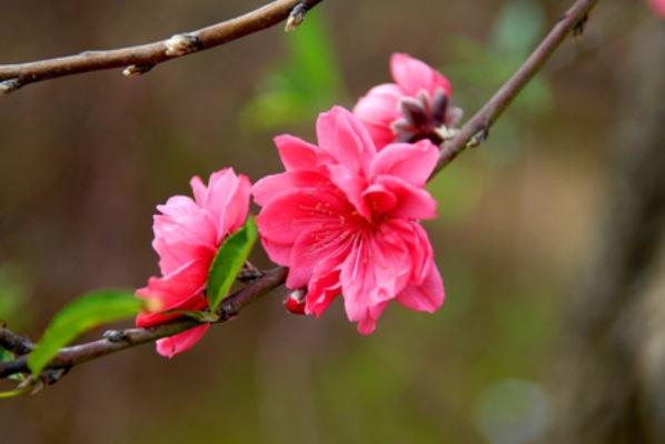 thuyet minh ve hoa dao 2 - Top 6 bài văn thuyết minh về cây hoa đào lớp 9 mới nhất