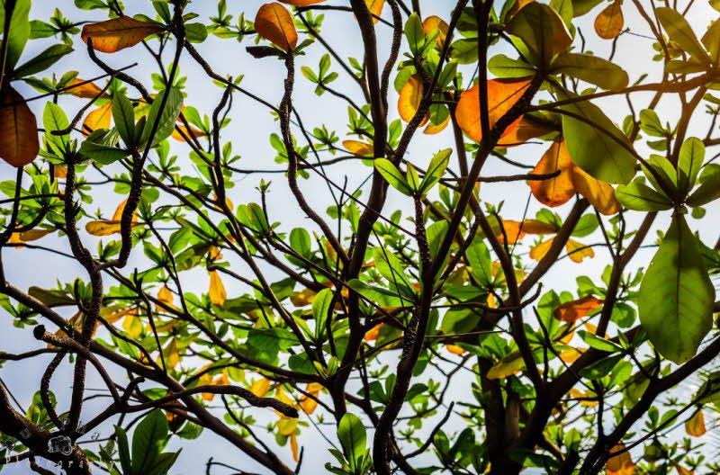 unnamed file 579 - Tả cây bàng lớp 4 hay nhất - 3 bài văn về cây bàng ở sân trường em
